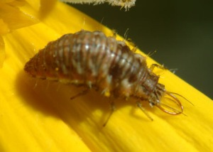 "Lacewing larva, aka the ""aphid lion"" is a voracious feeder on pests. Peter J. Bryant"