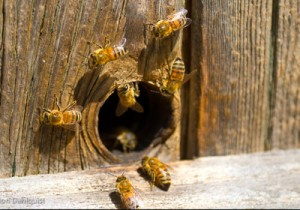 An example of the opening in the barn where bees exited and entered.