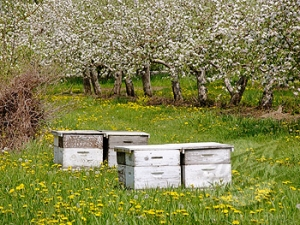 Bee hives in a Michigan apple orchard in full bloom ready for honeybees to pollinate superstock