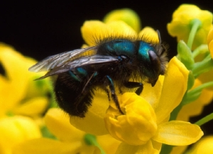 Osmia ribifloris, an efficient blueberry pollinator, will ingest systemic pesticides from pollen. USDA