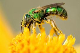 Our handsome native sweat bee is attracted to. . .but he gathers pollen and nectar, too. Michigan State