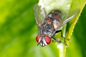Tachinid fly. Yes, flies are great pollinators, too