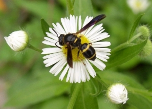 Yes, wasps are fine native pollinators, too, most of them docile