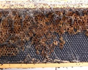 Comb destroyed by wax moths, aka wax millers, web worms. peacebeefarm.blogspot.com