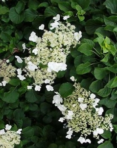 Climbing hydrangea: Perfect blooms, perfect leaves
