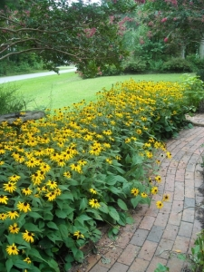 Rudbeckia, a veritable avenue of nectar and pollen