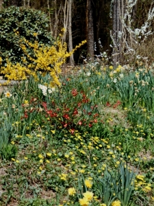 Springtime in our roadside garden: forsythia, quince, spirea, daffodils, and, yes, the groundcover is lesser celandine