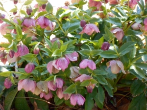 Lenten rose, or helleborus orientalis, delighted us through March doldrums