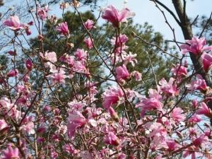 Our Magnolia 'Leonard Messel' was a 2-foot twig eight years ago