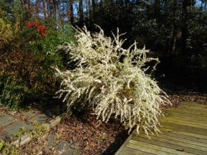 Spirea thunbergii 'Ogon' here wll need a 25-cent shave and a haircut when it finishes blooming