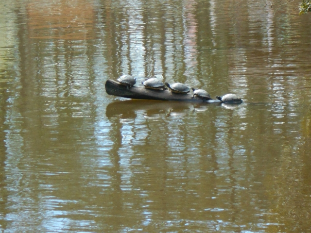 Turtles on the log. All's well with Spring