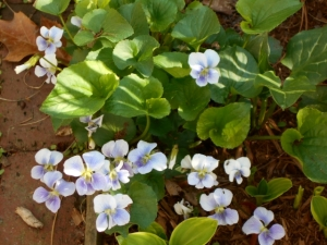 Shy sweet violet this is-- until it pops up and blooms in unexpected spots