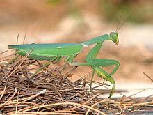 Female praying mantis (Wikipedia photo)
