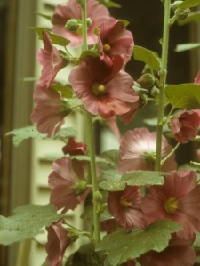 The firs year our brick bed produced a hollyhock that climbed to upper-story windows