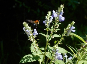 Native skullcap is another favorite with pollinators, grows elsewhere in our garden