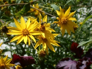 Woodland sunflower, happiest plant in the garden, goes wherever it wants and smiles all the time