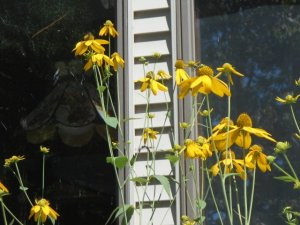 Insects and finches put on a show outside our window when they visit  cut leaf coneflower