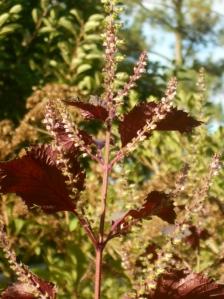 Seen in afternoon sun, perilla shines