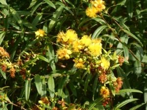 Shrubby St. Johnswort, a native standout but not often seen in gardens