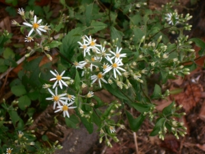 Stars scatteronce again in my late summer garden