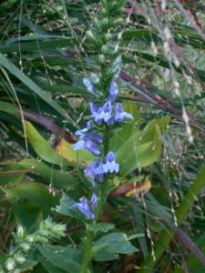 My mystery plant, appropriately veiled by wayward heavy metal panic grass