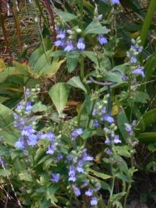 A bushy plant, courtesy of a deer pincher
