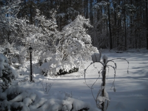 Stems of native wisteria, foreground looks like umbrella spokes