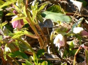 'Hellebore orientalis