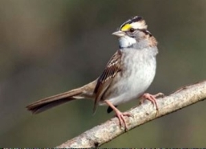 Handsome Whited Throated Sparrow by Kelly Colganazar