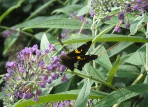 Yes, even the non-native butterfly bush (this one a dwarf) attracts pollinators