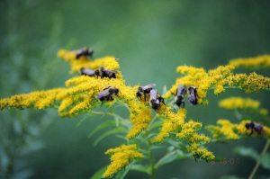 Pollinators having a field day on our goldenrod