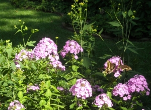 Who knew garden phlox would draw pollinators. Palomedes swallowtails cavort, raised on red bay, their host plant