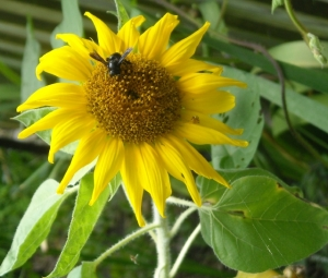 We've been encouraging native plants, this sunflower came from a seed our grandson gave us