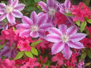 Late spring gives me a hint of what's on the way. But who can deny this clematis the joy of blanketing azaleas