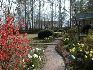 Quince and daffodils light up our path in March