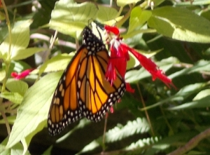 Meanwhile the monarch works hard for a few sips