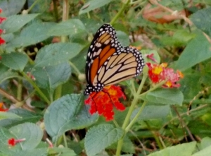 Here she is on lantana a few days later