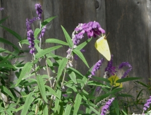 Sages are favorites of sulphurs. This one on Mexican sage, half hardy in our heavy, zone 8 soil