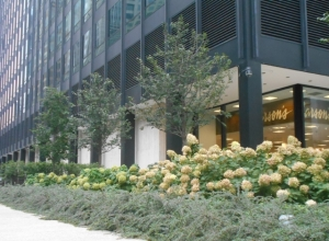 Curb appeal for skyscrapers: paniculata hydrangeas and cotoneaster