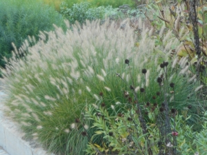 Fuzzy seed heads are foils for spikies and, pricklies elsewhere