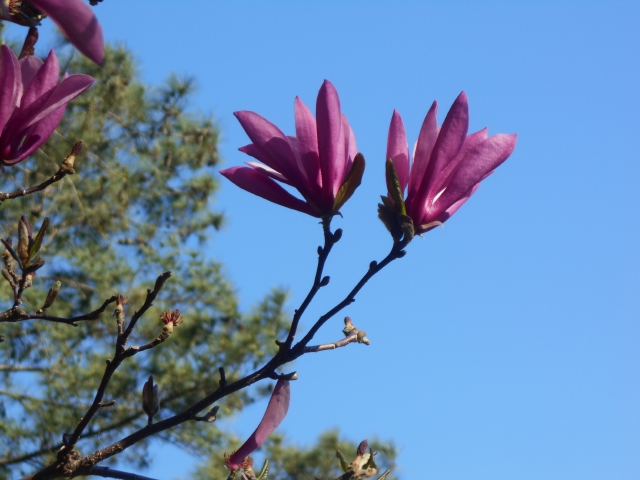 "Just enough insouciance in these magnolia 'Jane' blossoms to match my spring take-off on Jacques Brel's""Brussels"""