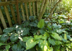 Doesn't the hosta look good without the persicaria?