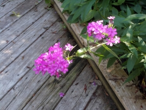 Oops, the phlox need a little help. Pretty color