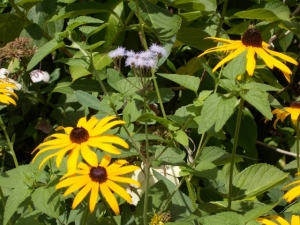 Fortunately, there are rudbeckias, need only one grand lopping, and I won't lose my pruners on that job. A single blue mist sharing the territory