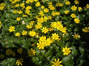 Lesser celandine, a weed I imported to our garden. A case of mistaken identity