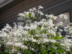 We love it: the sweet autumn clematis vine. It loves our garden so much it's taking over