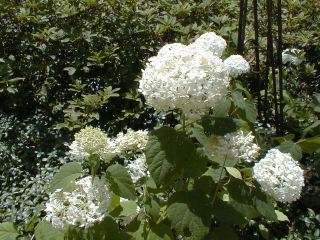 Not a strong grower for me, this Annabelle hydrangea, wilty in sun and of stingy bloom in shade, but it survives