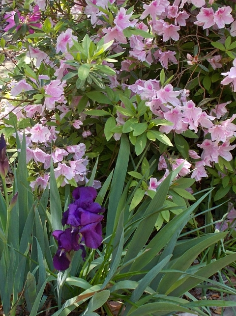 Early purple iris is a standout in this area. But it took years before donations from friends survived. Azalea 'George Tabor' in the background