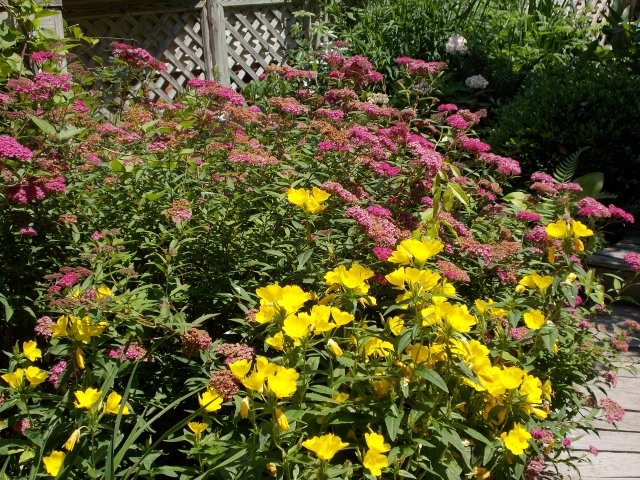Ive never had to coddle spirea japonica. Sun or part shade it's a reliable performer. Here with Missouri primrose