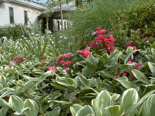 A tale of five plants. The variegated Solomon's Seal thrives, the miscanthus 'Morning Light' shines, and the azalea blooms purple each spring. The rose couldn't handle the copetition and the oxeye daisy is only an annual